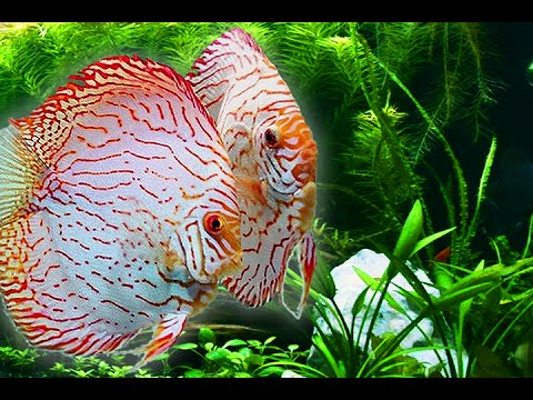 how to humanely cull discus fish