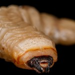 4 Deadly Parasites That Are Found In Fast Food