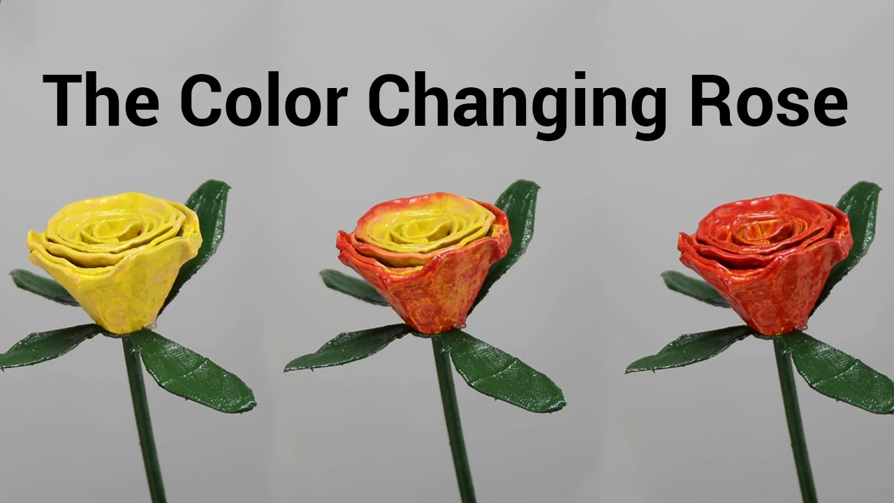 The color changing rose valentine s day gift idea for Color changing roses